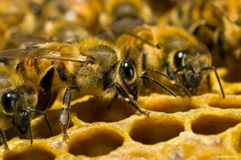 пчелы, гибель, Петровск